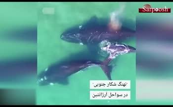 فیلم/ پهپادی که نهنگها را در کف اقیانوس وزن میکند