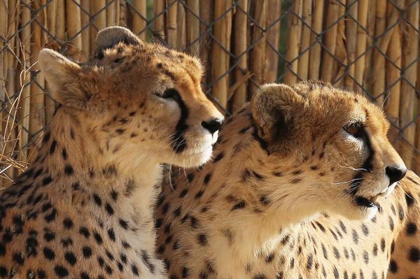 یوزپلنگ های ایرانی,اخبار اجتماعی,خبرهای اجتماعی,محیط زیست