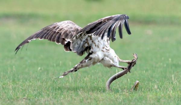مبارزه بین عقاب و مار کبرا,اخبار جالب,خبرهای جالب,خواندنی ها و دیدنی ها