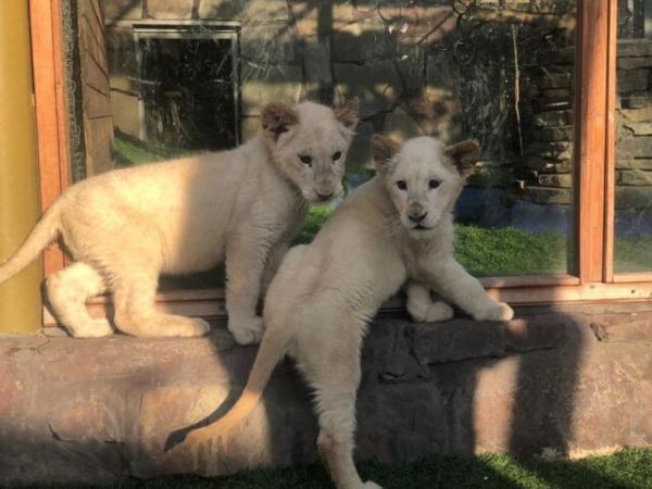 ورود توله شیرهای سفید آفریقایی به ایران,اخبار اجتماعی,خبرهای اجتماعی,محیط زیست