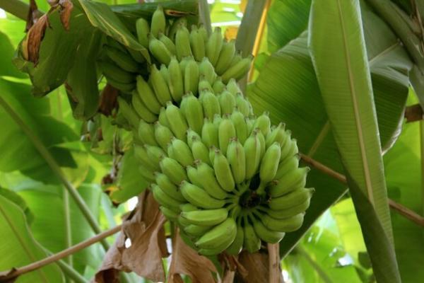 درخت موز,اخبار علمی,خبرهای علمی,طبیعت و محیط زیست