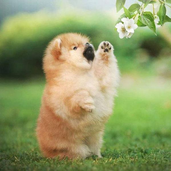 سگهای پامرانین,اخبار جالب,خبرهای جالب,خواندنی ها و دیدنی ها
