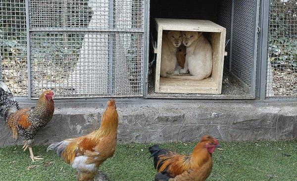شیرهای نادر آفریقایی در قفس مرغ و خروس,اخبار اجتماعی,خبرهای اجتماعی,محیط زیست