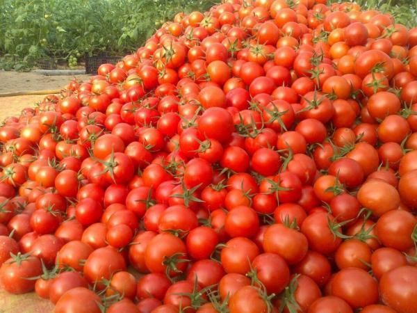 قیمت گوجه فرنگی,اخبار اقتصادی,خبرهای اقتصادی,کشت و دام و صنعت