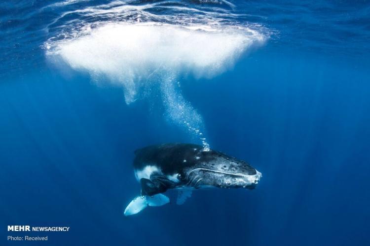 تصاویر زیبا از نهنگ ها,عکس های زیبا از نهنگ ها,تصاویرنهنگ ها در ساحل تونگا