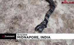 فیلم/ مار کبرای دو سر در هند