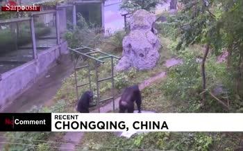 فیلم/ شستن لباس توسط شامپانزه 18 ساله در چین