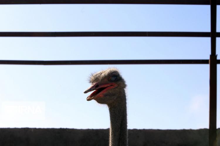 تصاویر پرورش شتر مرغ,عکس های پرورش شتر مرغ,تصاویر شتر مرغ ها
