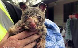 تصاویر خسارات آتشسوزی استرالیا به گونههای جانوری,عکس های خسارات آتشسوزی استرالیا به گونههای جانوری,تصاویر از بین رفتن گونه های جانوری در استرالیا