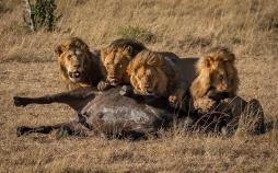 تصاویر شکار بوفالو توسط شیرها,عکس های شکار بوفالو توسط شیرها,تصاویر پارک ملی سرنگتی