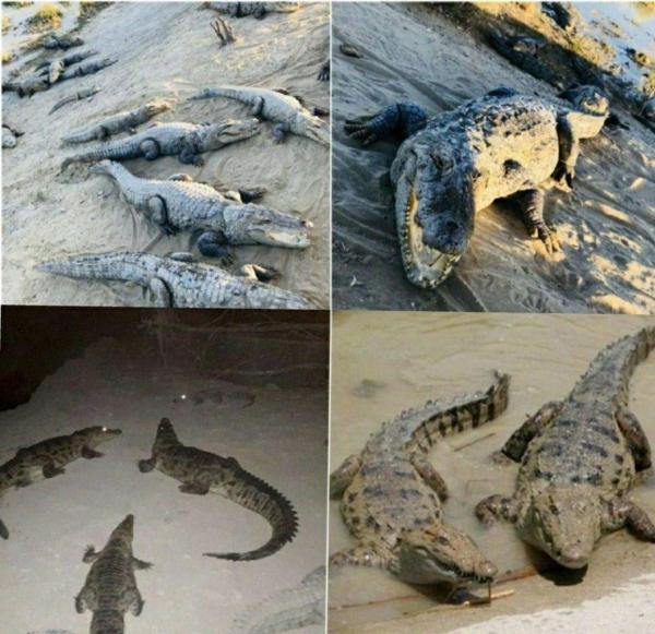 حمله تمساح ها به سیل زدگان سیستان و بلوچستان,اخبار اجتماعی,خبرهای اجتماعی,محیط زیست