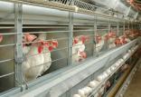 قیمت مرغ در بازار,اخبار اقتصادی,خبرهای اقتصادی,کشت و دام و صنعت