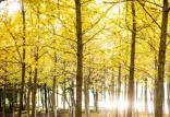 درختان هزار ساله,اخبار علمی,خبرهای علمی,طبیعت و محیط زیست