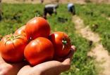 گوجه فرنگی ویرایش ژن شده,اخبار علمی,خبرهای علمی,طبیعت و محیط زیست