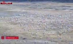 فیلم/ بلایی که خشکی زایندهرود بر سر پرندگان آورد