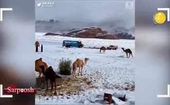 فیلم/ خرید و فروش شتر در صحرای پوشیده از برف عربستان