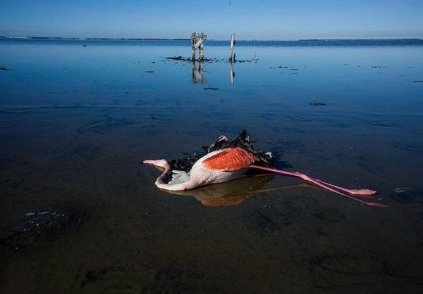 علت مرگ پرندگان میانکاله,اخبار اجتماعی,خبرهای اجتماعی,محیط زیست