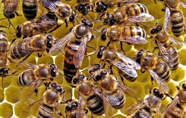 بیماریلوک آمریکایی در زنبور عسل,اخبار اجتماعی,خبرهای اجتماعی,محیط زیست