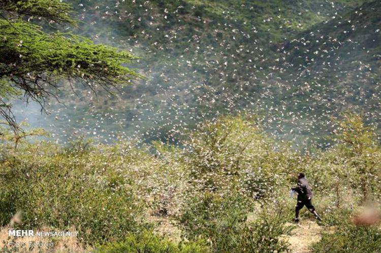 تصاویر حمله گلههای ملخ به شرق آفریقا,عکس های حمله گلههای ملخ به شرق آفریقا,تصاویر ملخ های صحرایی