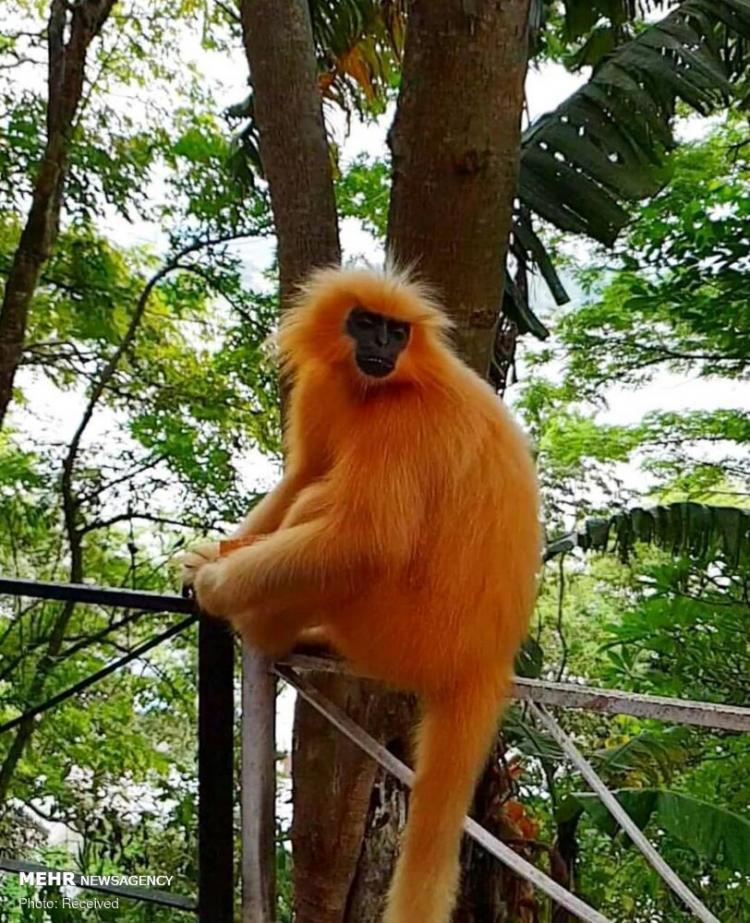 تصاویر گونه های عجیب میمون ها,عکس های گونه های عجیب میمون ها,تصاویر کوچک ترین گونه میمون ها
