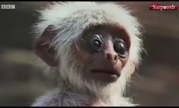 فیلم/ سوگواری میمونها برای عروسکی که فکر میکنند مرده است!