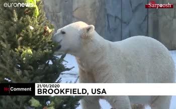 فیلم/ کادوی کریسمس برای حیوانات باغ وحش؛ از خوراکی تا خاراندن کله