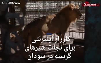 فیلم/ شیرهای گرسنه در سودان