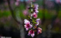 تصاویر طبیعت مازندران,عکس های طبیعت مازندران,تصاویر شکوفه دادن درختان