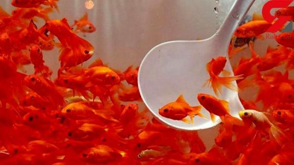 ماهی قرمز,اخبار اجتماعی,خبرهای اجتماعی,محیط زیست