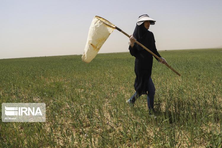 تصاویر عملیات پایش ملخهای صحرایی در خوزستان,عکس های مبارزه با ملخ ها,تصاویر مهارکردن ملخ ها