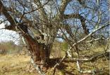 درخت گردوی ۴۰۰ ساله پشتوک,اخبار فرهنگی,خبرهای فرهنگی,میراث فرهنگی