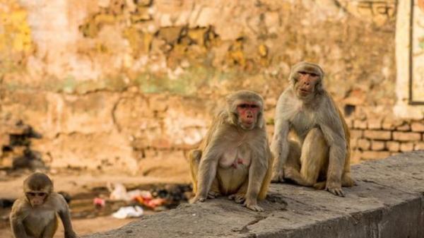 مرگ مشکوک چند میمون در هندوستان,اخبار علمی,خبرهای علمی,طبیعت و محیط زیست