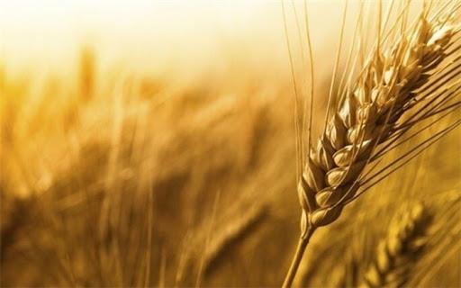 قیمت گندم در سال 99,اخبار اقتصادی,خبرهای اقتصادی,کشت و دام و صنعت
