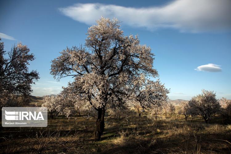 تصاویر شکوفه های دره چای,عکس های شکوفه های درخت دره چای,تصاویر درختان بادام دره چای