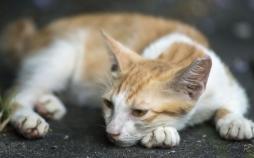 ابتلای گربه به ویروس کرونا,اخبار علمی,خبرهای علمی,طبیعت و محیط زیست