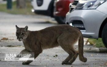 تصاویر حضور حیوانات در شهرهای کرونایی,عکس های حیوانات در شهرهای کرونایی,تصاویری از حضور حیوانات در شهرهای مشکوک به کرونا