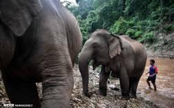 تصاویر روزهای بدون گردشگر فیلهای تایلندی,عکس های فیل های تایلندی,تصاویری از فیل های تایلندی