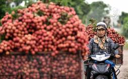 تصاویر برداشت سرخالو در ویتنام,عکس های برداشت لیچی,تصاویر میوه لیچی