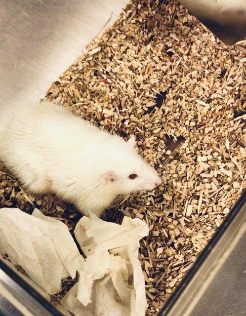 پیوند کبد مینیاتوری انسان به موشها,اخبار پزشکی,خبرهای پزشکی,تازه های پزشکی