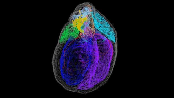 نقشه سهبعدی نورونهای قلب,اخبار پزشکی,خبرهای پزشکی,تازه های پزشکی
