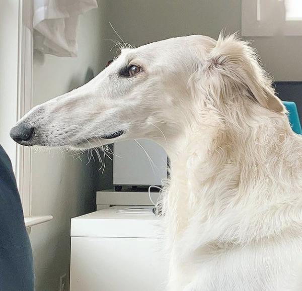 سگی که بزرگترین بینی را در جهان دارد,اخبار جالب,خبرهای جالب,خواندنی ها و دیدنی ها
