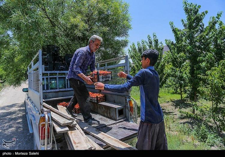 تصاویر برداشت گیلاس در اصفهان,عکس های برداشت گیلاس در اصفهان,تصاویری از گیلاس های اصفهان