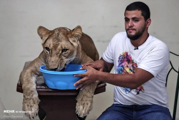 تصاویر آموزش شیر سیرک در خانه,عکس های آموزش شیر سیرک در خانه,تصاویری از یک شیرک سیرک در خانه