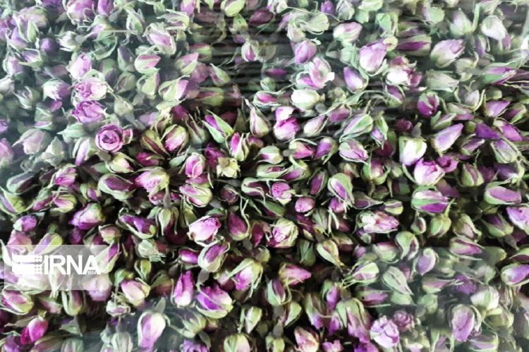 تصاویر گلاب گیری در کاشان زیر سایه کرونا,عکس های گلاب گیری در کاشان,تصاویری از گلاب گیری در کاشان