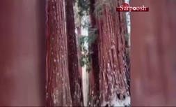 فیلم/ عجیب ترین درختان دنیا در کالیفرنیا