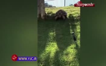 فیلم/ نمایش جالب لاکپشت آفریقایی