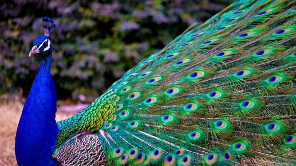 دستگیری یک طاووس در کانادا,اخبار جالب,خبرهای جالب,خواندنی ها و دیدنی ها