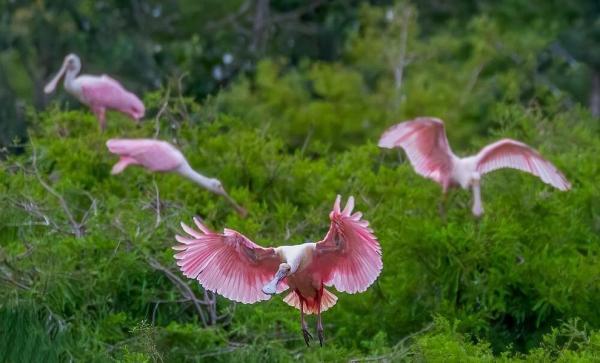پرنده نادر کفچه نوک گلی,اخبار جالب,خبرهای جالب,خواندنی ها و دیدنی ها