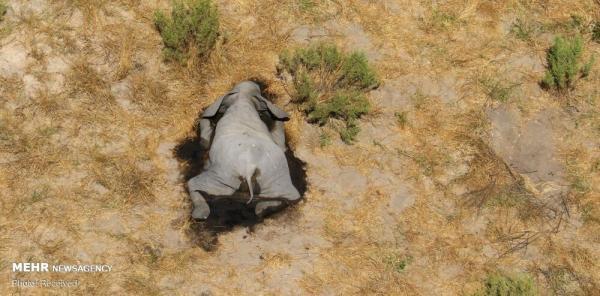 مرگ مرموز صدها فیل در آفریقا,اخبار جالب,خبرهای جالب,خواندنی ها و دیدنی ها