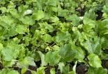 گیاهان سبز رنگ,اخبار علمی,خبرهای علمی,طبیعت و محیط زیست